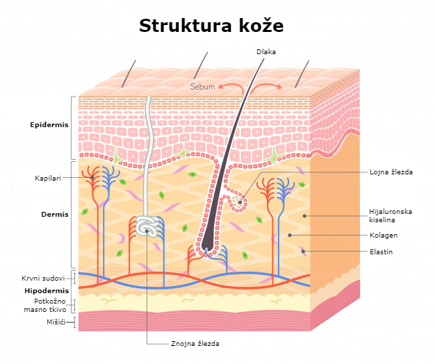 Struktura kože
