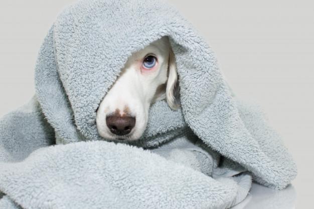 Sušenje krzna nakon kupanja pasa